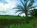 A village field in Bangladesh.jpg