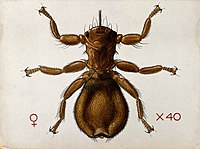 A wingless sheep fly (Melophagus ovinus). Coloured drawing b Wellcome V0022537.jpg