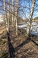 Abandoned railroad with birches.jpg