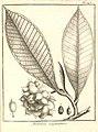 Aberemoa guianensis Aublet 1775 pl 245.jpg
