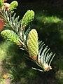 Abies balsamea (Balsam Fir) (29010604948).jpg