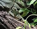 Acanthosaura capra, Zoo Prague 2.jpg