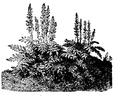 Acanthus mollis , Nordisk familjebok.png