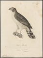 Accipiter poliogaster - 1700-1880 - Print - Iconographia Zoologica - Special Collections University of Amsterdam - UBA01 IZ18300111.tif