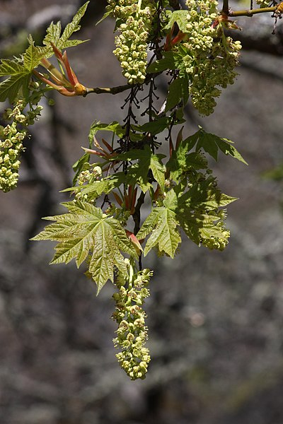 File:Acer macrophyllum 7994.JPG