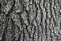 Acer rubrum(Bark).JPG