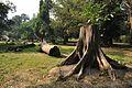 Acharya Jagadish Chandra Bose Indian Botanic Garden - Howrah 2011-01-08 9761.JPG