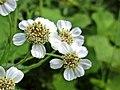 Achillea ptarmica (Asteraceae) - (flowering), Elst (Gld), the Netherlands.jpg