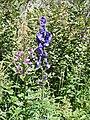 Aconitum napellus, Chamerion angustifolium, Alnus alnobetula at Salvan, Switzerland DSCF1379.jpg