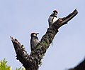 Acorn woodpeckers on Angel Island (40125).jpg
