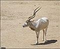 Addax-Jerusalem-Biblical-Zoo-IZE-491.jpg