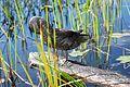 Adirondacks - duck - 02.jpg