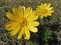 Adonis vernalis (26150297371).jpg