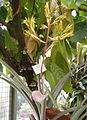 Aechmea rubens BotGardBln08112010A.jpg