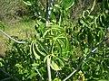 Aesculus californica-14.jpg