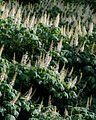 Aesculus parviflora (Bottlebrush Buckeye) (27756226313).jpg