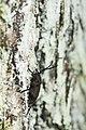 Aethalodes verrucosus formosanus (35034911356).jpg