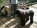 Afghan hounds (6923812255).jpg