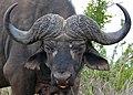 African Buffalo (Syncerus caffer) bull (33258907072).jpg