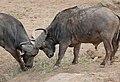 African Buffaloes (Syncerus caffer) bulls ... (32364266525).jpg