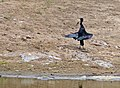 African Openbill (Anastomus lamelligerus) (12027576275).jpg
