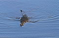 African crocodile swimming by. (12223033193).jpg