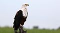 African fish eagle, Haliaeetus vocifer, at Chobe National Park, Botswana (33516609881).jpg