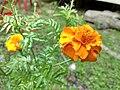 After rain Marigold.jpg