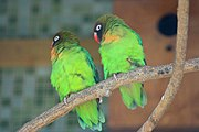 Two bright green parrots with orange chin, black head, and red beak