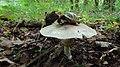 Agaricus sp. gljiva (1).jpg
