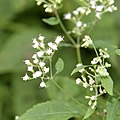 Ageratina altissima SCA-5477.jpg
