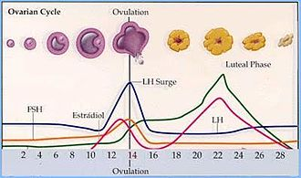 Induced ovulation (animals) - Ovulation
