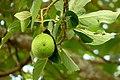 Aguacate (Persea americana) (15276106997).jpg
