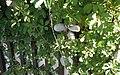 Akebia quinata (vine, fruits, flowers) 10.jpg