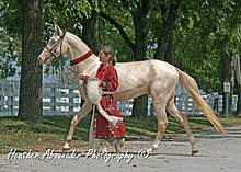 Akhal Teke Stallion - Samovar (his color is Perlino).jpg