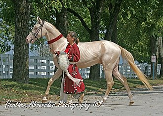 Akhal-Teke - Perlino Akhal-Teke. Many members of this breed carry a gene for the cream dilution.