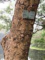 Albizia lebbeck Trunk - Indian Botanic Garden - Howrah 2012-01-29 1688.JPG