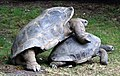 Aldabra mating 7.JPG