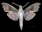 Aleuron chloroptera MHNT CUT 2010 0 152 Puerto Maldonado, Madre de Dios, Peru, male ventral.jpg