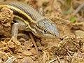 Algerian Sand Lizard (Psammodromus algirus) (14318841210).jpg