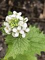Alliaria petiolata 123805462.jpg