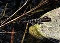 Alligator mississippiensis baby rock.jpg