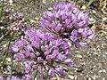 Allium angulosum (Alliaceae) flowers.JPG