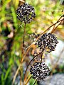 Allium lusitanicum Czosnek skalny 2017-10-15 01.jpg