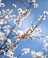 Almond Blossom 1 (Unsplash).jpg