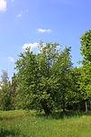 Grau-Erle (Alnus incana)