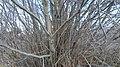 Alnus incana var. tenuifolia 5.jpg