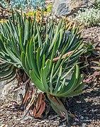 Aloe plicatilis 01.jpg