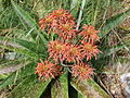 Aloe swynnertonii (4382154654).jpg
