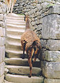 Alpacas walking in Machu Picchu the Inca empire.jpg